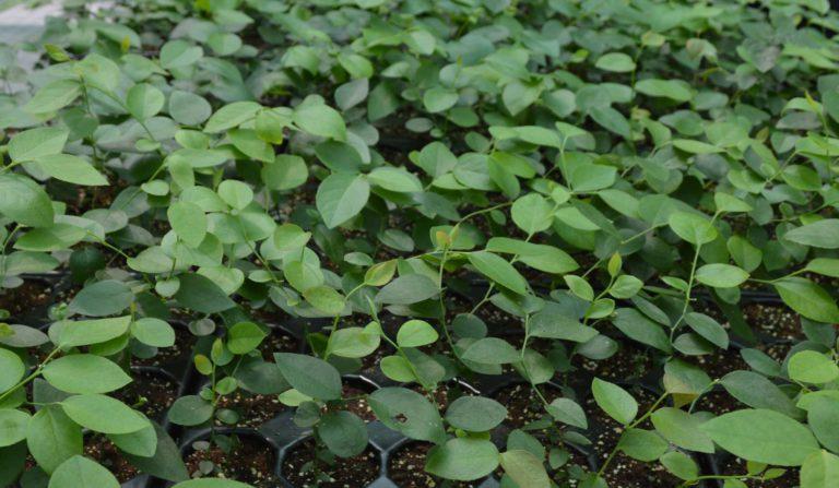 Aplican biotecnología para lograr cultivos de alto rendimiento