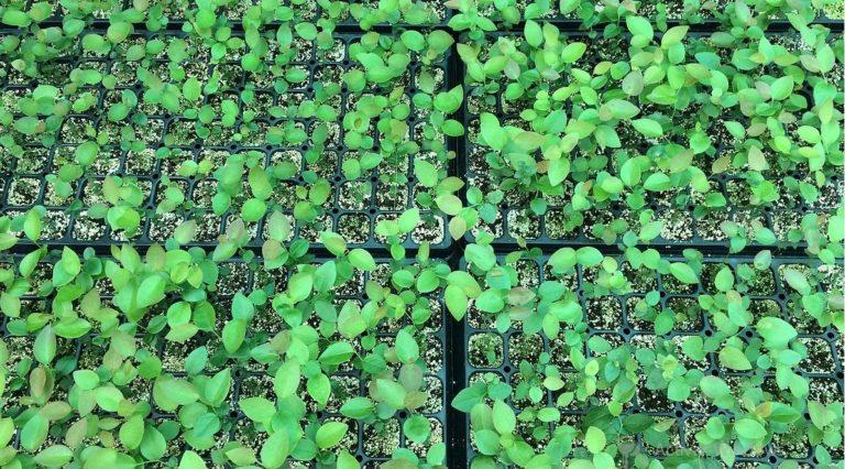 ¿Cómo cultivar arándanos de alto rendimiento?