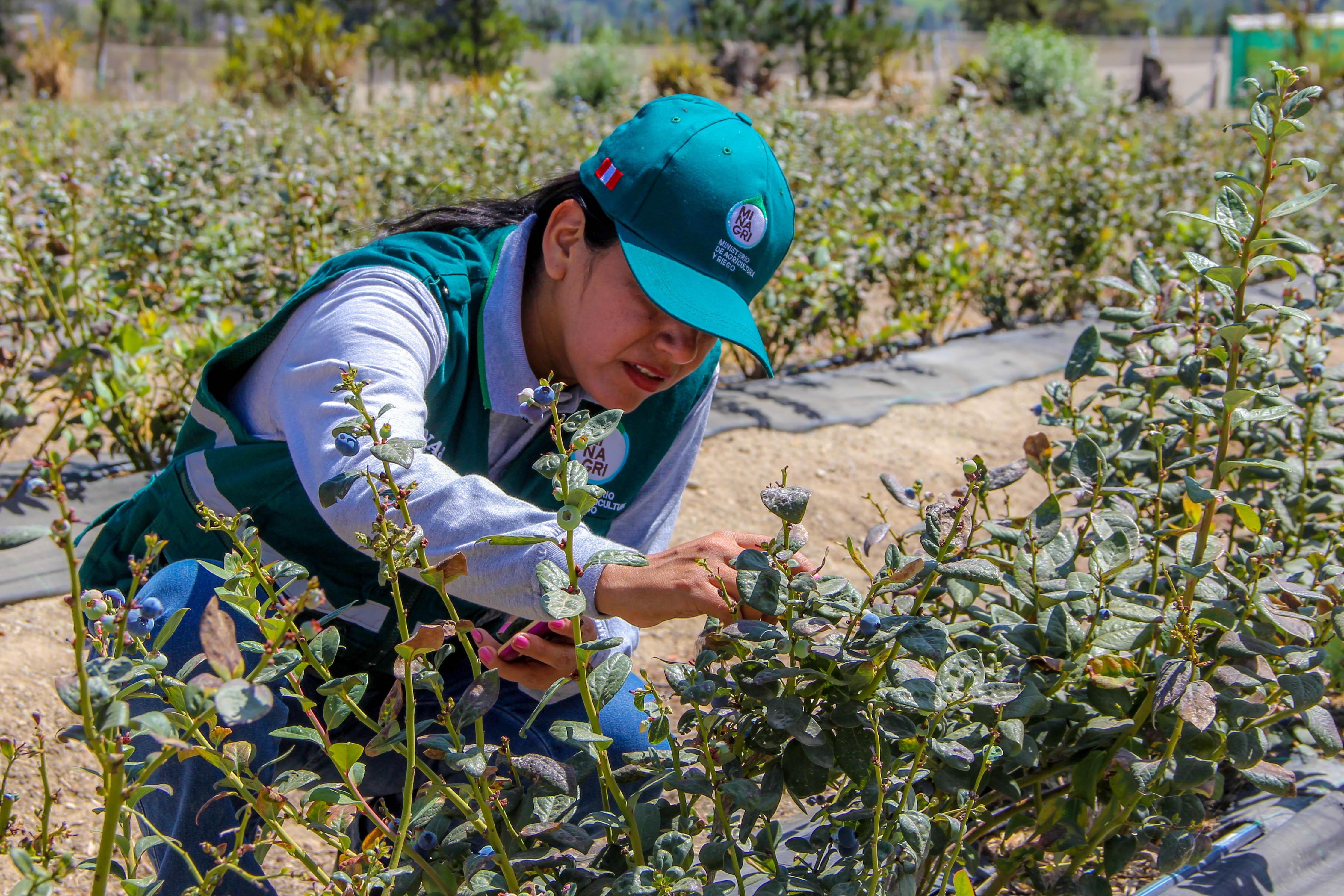 Arándanos: Exportación creció 50%