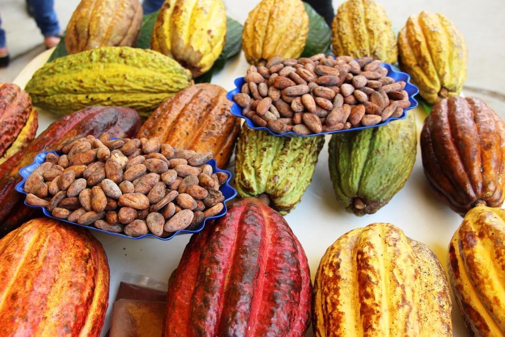 COVID-19: Negocio de cacao con fuertes pérdidas